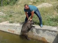 Turecki kaban ratuje dziki