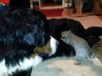Wiewiórka chowa orzechy w futrze psa berneńskiego.