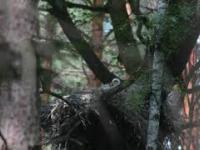bocian czarny zapachy pod gniazdem i opaski poślizgowe