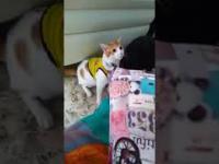 Kolumbijski kot cieszy się z gola reprezentacji na mundialu