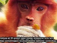 Nosacz Sundajski aka. Janusz - prawdziwy król zwierząt