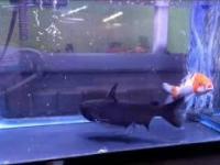 Szybka akcja w akwarium