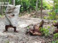 Orangutan zrobi wszystko by zwrócić na siebie uwagę swojego kolegi