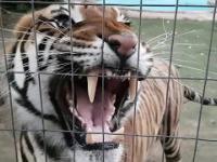 Tygrys odstrasza intruza od swojej zdobyczy