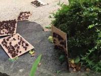 Pozbywanie się gniazda szerszeni Japońskich za pomocą pułapki klejowej