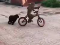 Małpa ukradła psu rower