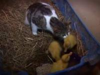 Kocia mama i kaczuszki