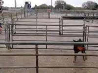 Jak zagonić owce na ciężarówkę?