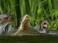 Rodzina największych wydr świata walczy na śmierć i życie z kajmanem