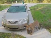 Pantera łapie kota na podjeździe domu