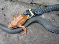 Wąż zjada żabę