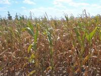 Rząd przeznaczy 1,5 miliarda złotych na pomoc suszową