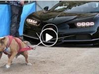 Pitbull VS CAR