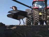 Czajka chroni swoje jaja przed traktorem