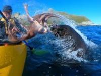 Foka uderza mężczyznę ośmiornicą