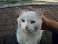 Biały kot z puszystym ogonem