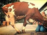 Inteligencja i zdolności krowy