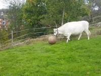 Może do kadry weźmiemy tę krowę?
