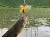 Łowienie ryb na żywą kaczkę