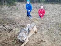 Uwalnianie wilka z pułapki kłusowniczej (potrzasku)
