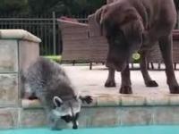 Panda śmietnikowa udziela lekcji pływania psu