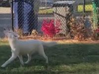 Niewidomy i głuchy pies wita swojego opiekuna.