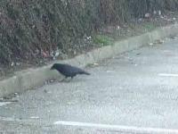 Wrona dzieli się chlebem z myszką