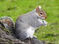 tłuste wiewiórki angielskie