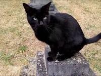 Czarny kot cmentarny