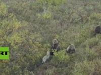 Pies bawi się z rodziną niedźwiedzi w Rosji