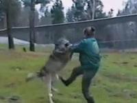 Kobieta szybko rozprawia się z agresywnym wilkiem