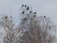 wrony kołyszące się na drzewach