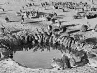 10 miliardów królików, czyli historia plagi w Australii