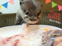 Kiedy wydra obchodzi urodziny
