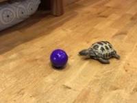 Jak zabawiać swojego żółwia