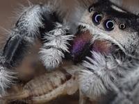 Najsłodszy pająk na świecie