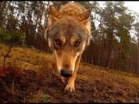 Wilk atakuje kamerę