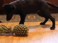 Psy poznają ananasa