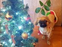 Słodki świąteczny pekińczyk, szczeniaczek. Sweet christmas pekingese puppy