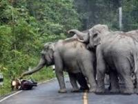 Stado słoni atakuje motocykl