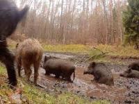 Dziki , wilki i jelenie.