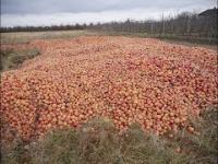 Do tego doprowadziły niskie ceny jabłek w skupach