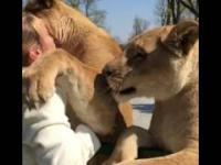 Lwy witają kobietę która je uratowała