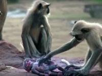 Małpy opłakują robota imitującego małpie niemowlę