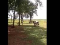 Starcie kozy z krową