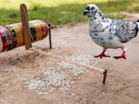 Prosta pułapka na gołębie