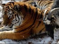 Tygrys zaprzyjaźnił się z kozłem, którego dostał na obiad