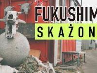 Napromieniowane krowy w Fukushimie