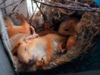 Rosyjska wiewiórka okienna