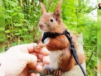 Domowy wiewiórek